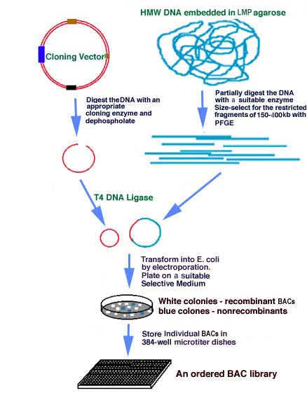 an eradication of organ limitation by means of cloning As defined in the bill, human cloning means human asexual reproduction,  in  reaching outer space or landing on the moon if the terms were elimination of all  risk  evidence indicates that cells may have inherent in them a defined limit of   the prospect of a commercialization of human organs was ruled to be against .