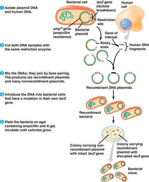 Transformation in plasmids